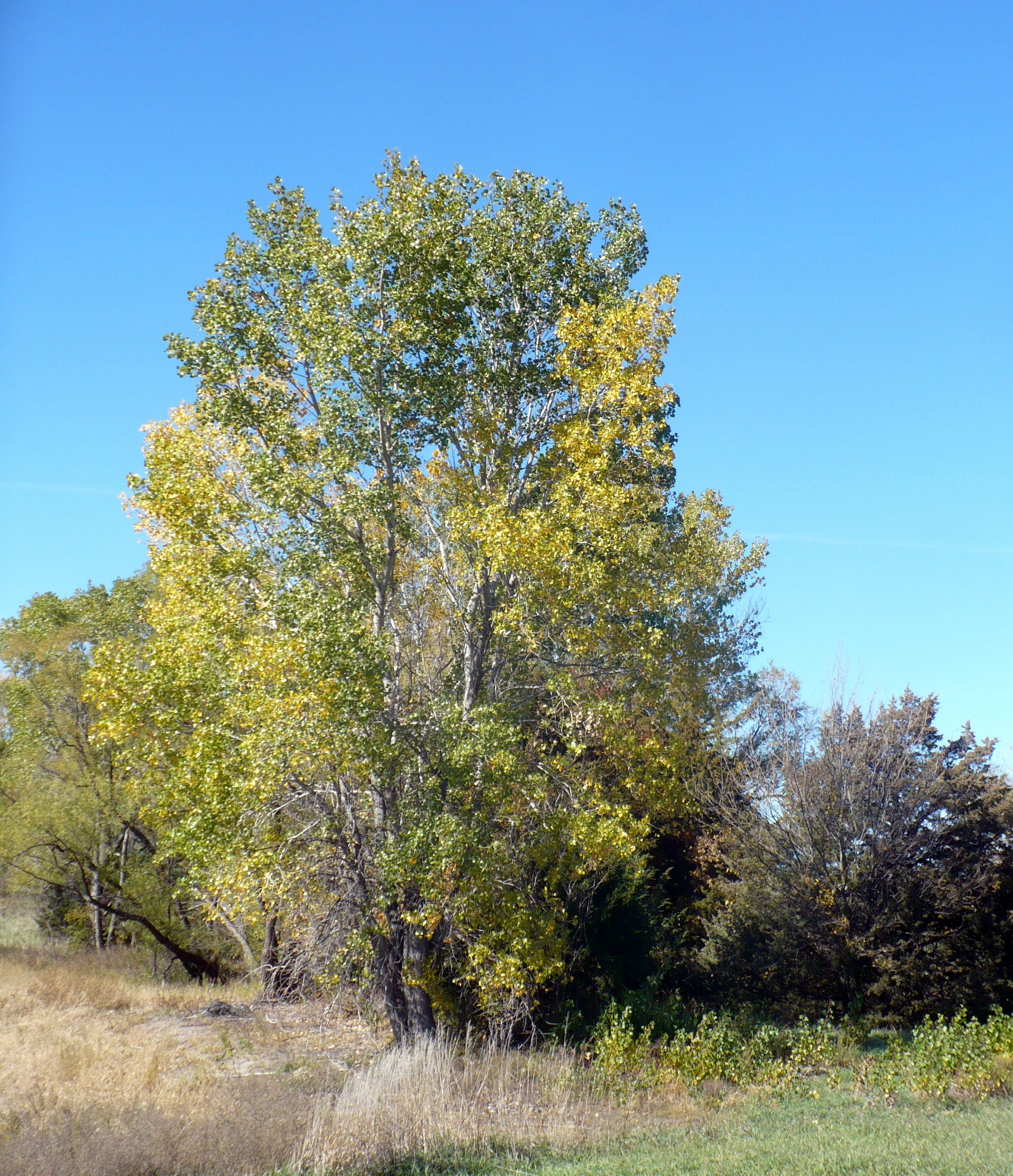 Tree leaves of kansas - And